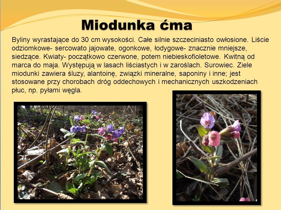 Miodunka ćma Byliny wyrastające do 30 cm wysokości. Całe silnie szczeciniasto owłosione. Liście odziomkowe- sercowato jajowate, ogonkowe, łodygowe- zn