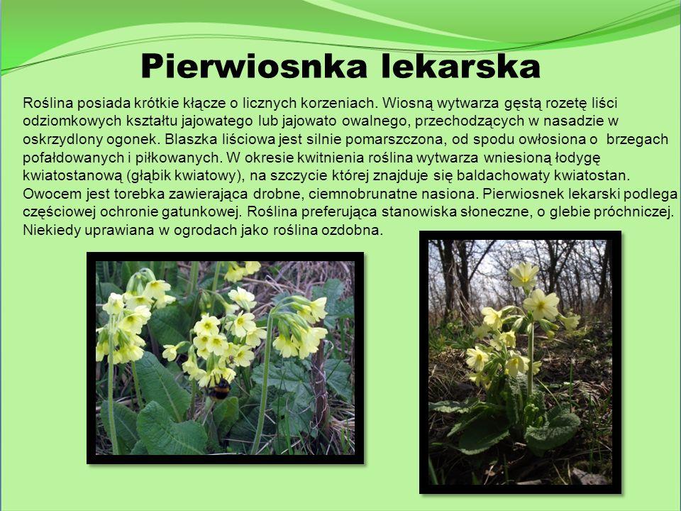 Roślina posiada krótkie kłącze o licznych korzeniach. Wiosną wytwarza gęstą rozetę liści odziomkowych kształtu jajowatego lub jajowato owalnego, przec