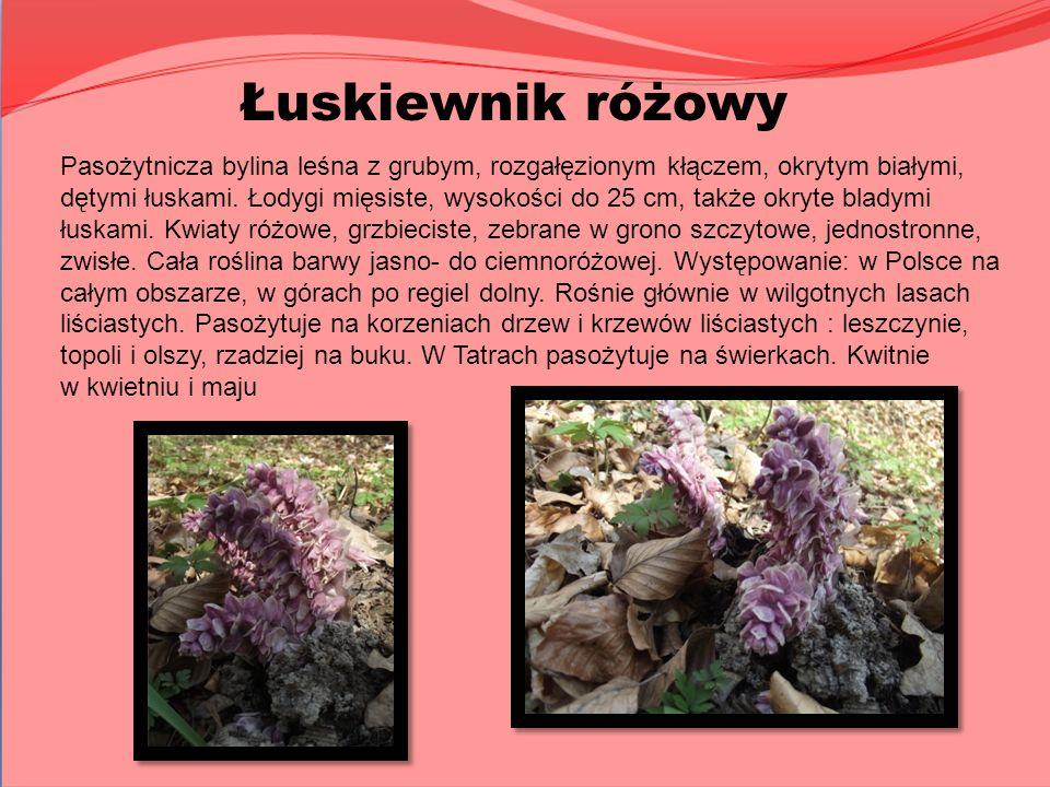 Pasożytnicza bylina leśna z grubym, rozgałęzionym kłączem, okrytym białymi, dętymi łuskami. Łodygi mięsiste, wysokości do 25 cm, także okryte bladymi