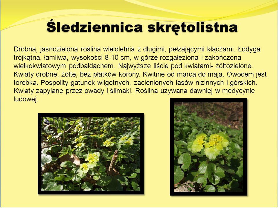 Śledziennica skrętolistna Drobna, jasnozielona roślina wieloletnia z długimi, pełzającymi kłączami. Łodyga trójkątna, łamliwa, wysokości 8-10 cm, w gó