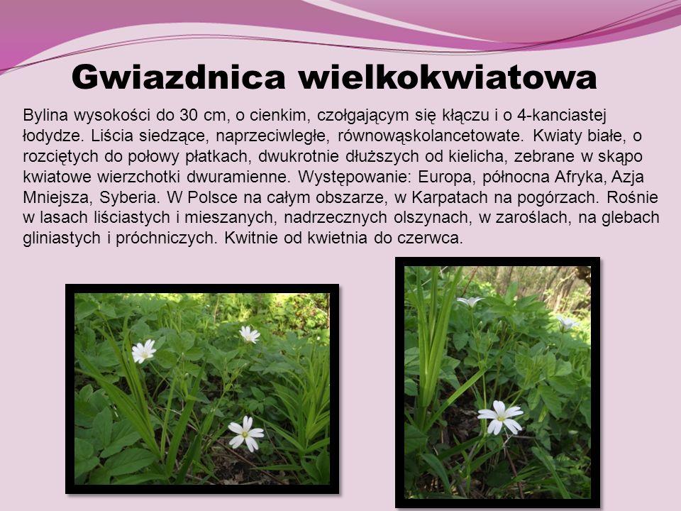 Gwiazdnica wielkokwiatowa Bylina wysokości do 30 cm, o cienkim, czołgającym się kłączu i o 4-kanciastej łodydze. Liścia siedzące, naprzeciwległe, równ