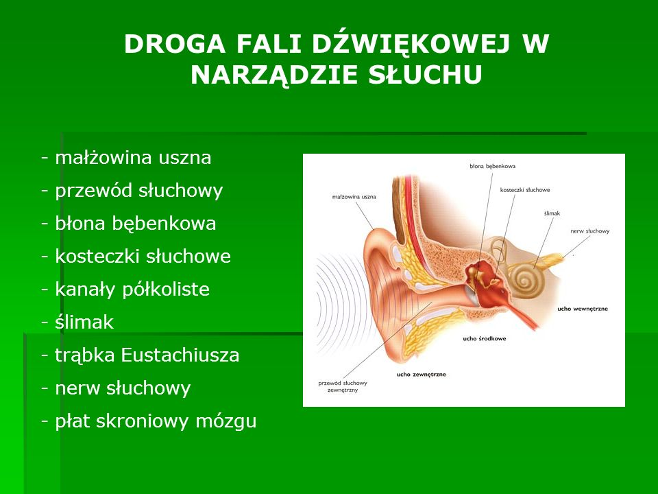 DROGA FALI DŹWIĘKOWEJ W NARZĄDZIE SŁUCHU - małżowina uszna - przewód słuchowy - błona bębenkowa - kosteczki słuchowe - kanały półkoliste - ślimak - tr