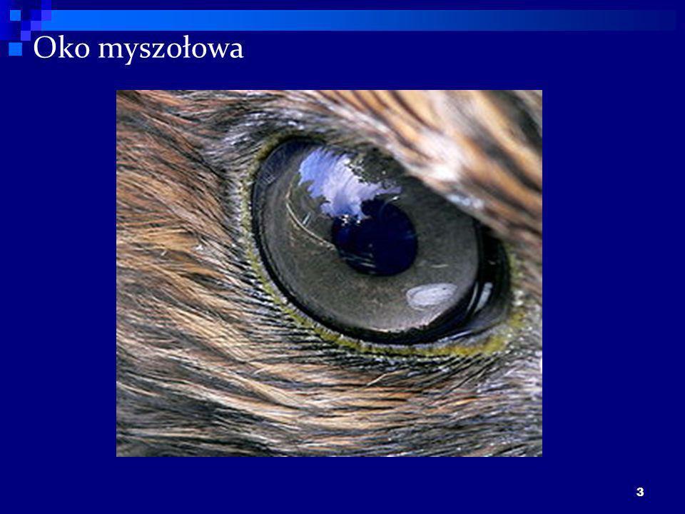 3 Oko myszołowa