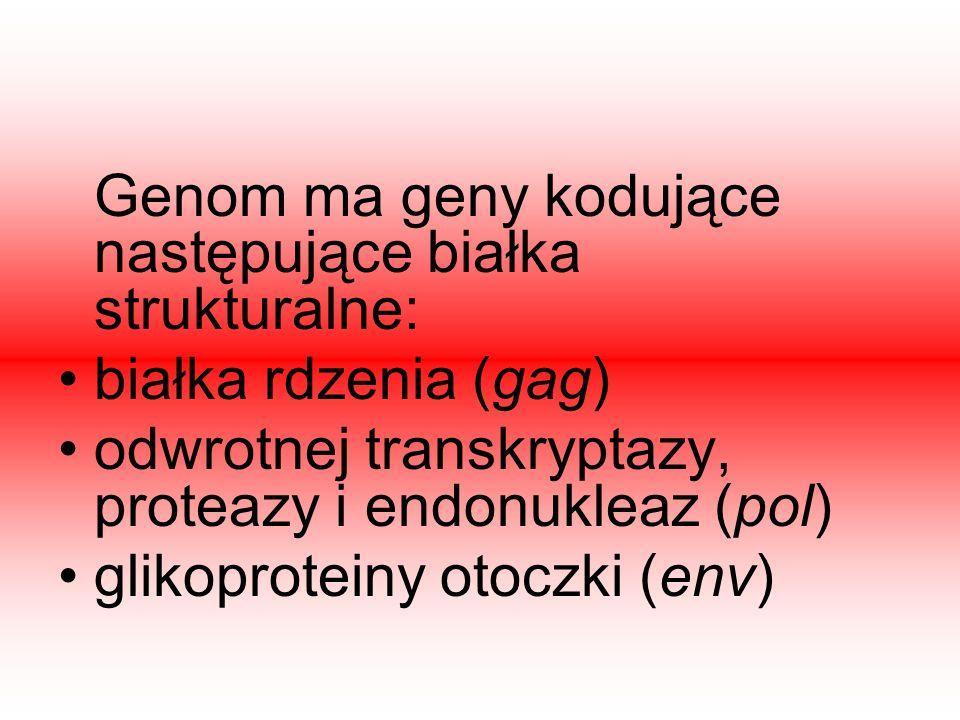 Genom ma geny kodujące następujące białka strukturalne: białka rdzenia (gag) odwrotnej transkryptazy, proteazy i endonukleaz (pol) glikoproteiny otocz