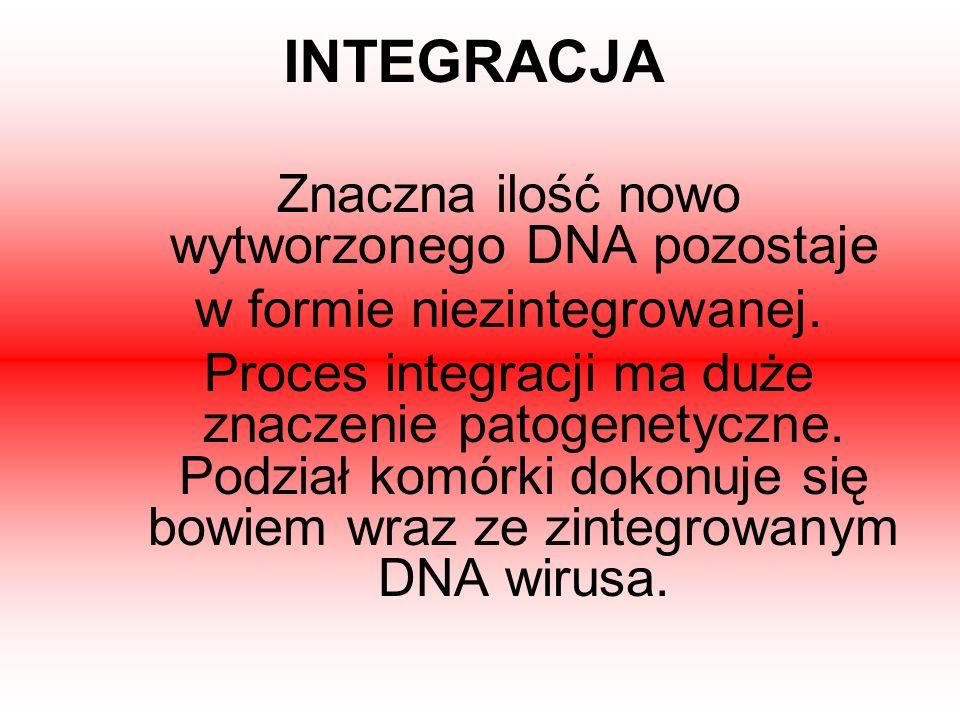 INTEGRACJA Znaczna ilość nowo wytworzonego DNA pozostaje w formie niezintegrowanej. Proces integracji ma duże znaczenie patogenetyczne. Podział komórk