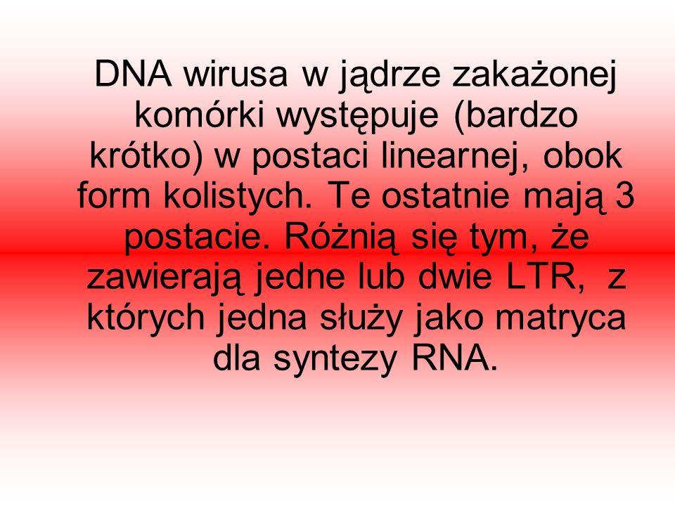DNA wirusa w jądrze zakażonej komórki występuje (bardzo krótko) w postaci linearnej, obok form kolistych. Te ostatnie mają 3 postacie. Różnią się tym,