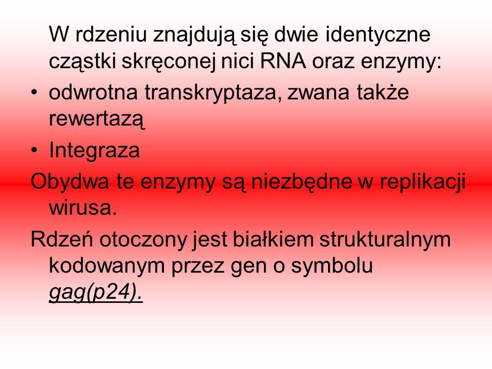 W rdzeniu znajdują się dwie identyczne cząstki skręconej nici RNA oraz enzymy: odwrotna transkryptaza, zwana także rewertazą Integraza Obydwa te enzym
