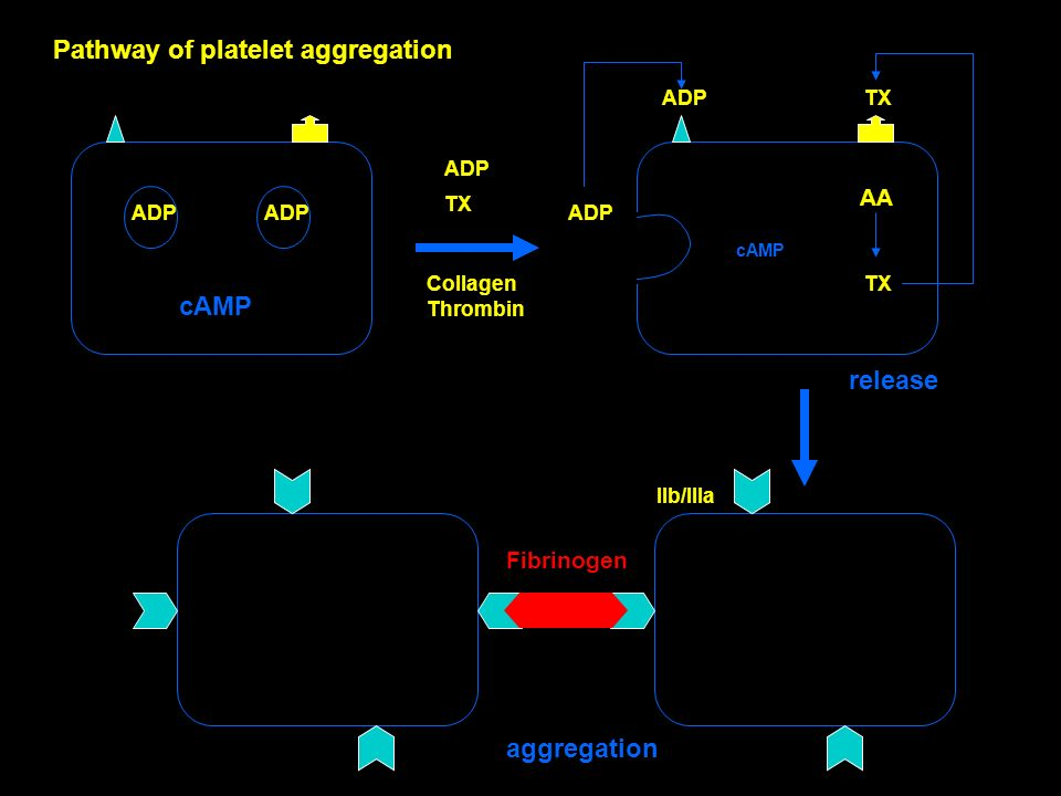 ADP TX ADP TX ADP AA TX ADP IIb/IIIa Fibrinogen cAMP Collagen Thrombin release aggregation Pathway of platelet aggregation