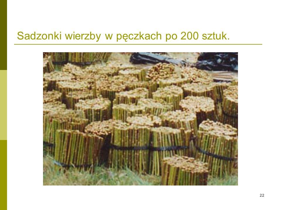 22 Sadzonki wierzby w pęczkach po 200 sztuk.