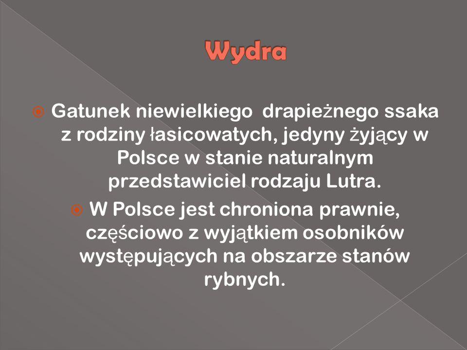 Gatunek niewielkiego drapie ż nego ssaka z rodziny ł asicowatych, jedyny ż yj ą cy w Polsce w stanie naturalnym przedstawiciel rodzaju Lutra. W Polsce