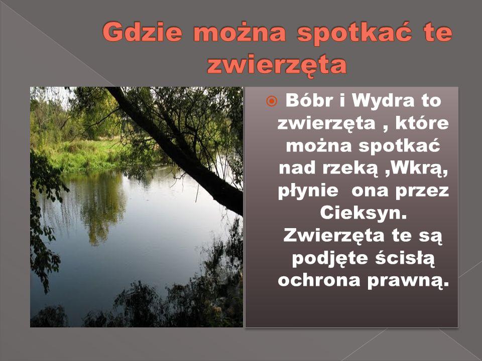 Bóbr i Wydra to zwierzęta, które można spotkać nad rzeką,Wkrą, płynie ona przez Cieksyn.