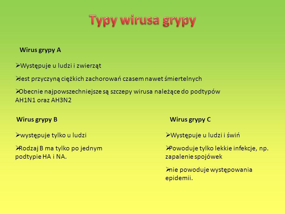 Wirus grypy A Występuje u ludzi i zwierząt Jest przyczyną ciężkich zachorowań czasem nawet śmiertelnych Obecnie najpowszechniejsze są szczepy wirusa n