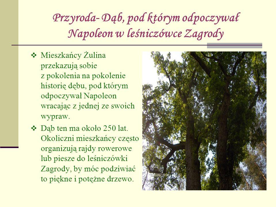 Przyroda- Dąb, pod którym odpoczywał Napoleon w leśniczówce Zagrody Mieszkańcy Żulina przekazują sobie z pokolenia na pokolenie historię dębu, pod któ