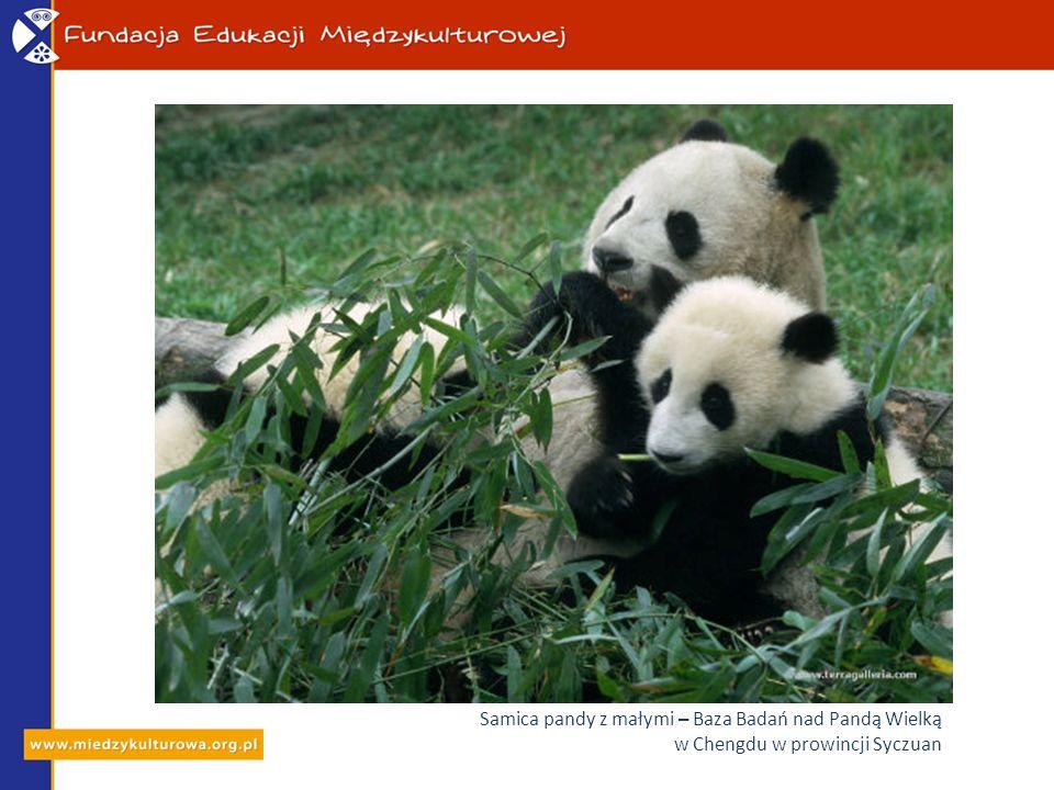 Samica pandy z małymi – Baza Badań nad Pandą Wielką w Chengdu w prowincji Syczuan