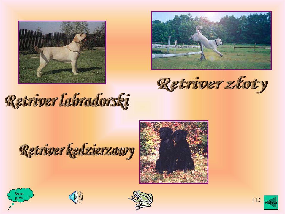 111 Retrievery są psami u nas prawie nieznanymi, bardzo jednak popularnymi w krajach anglosaskich włącznie a USA i Kanadą, a także w krajach skandynaw