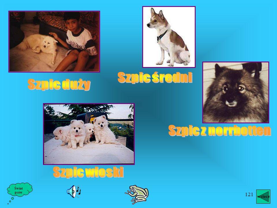 120 Szpice uchodzą za najstarszą rasę psa domowego. Przemawia za tym poza śladami wykopaliskowymi duże wyrównanie ich typu. W Mezopotamii w wykopalisk