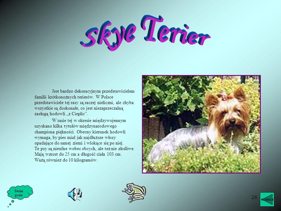 25 Sealyham terier jest dalszym krewnym foksteriera. Ze względu na bardzo duże walory myśliwskie używany jest do polowania na lisy i borsuki. Poza tym