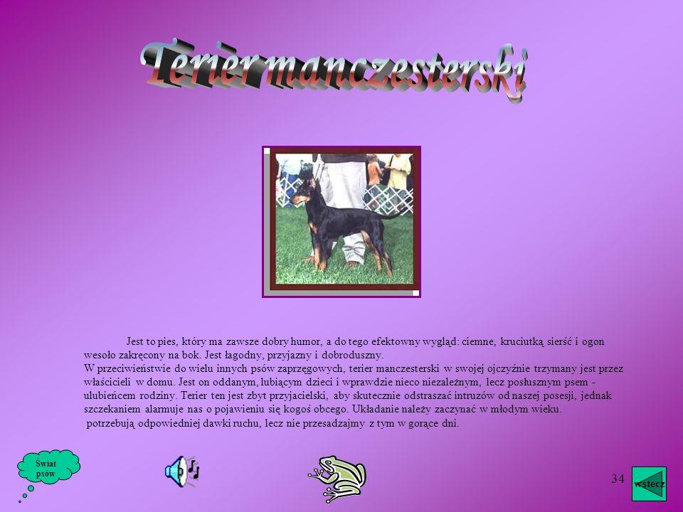 33 Jest to pies o bystrym wyrazie, szybki w ruchach, stale w szczytowym napięciu, reagujący na każdy bodziec, na co zresztą wskazuje wyraz oczu oraz s