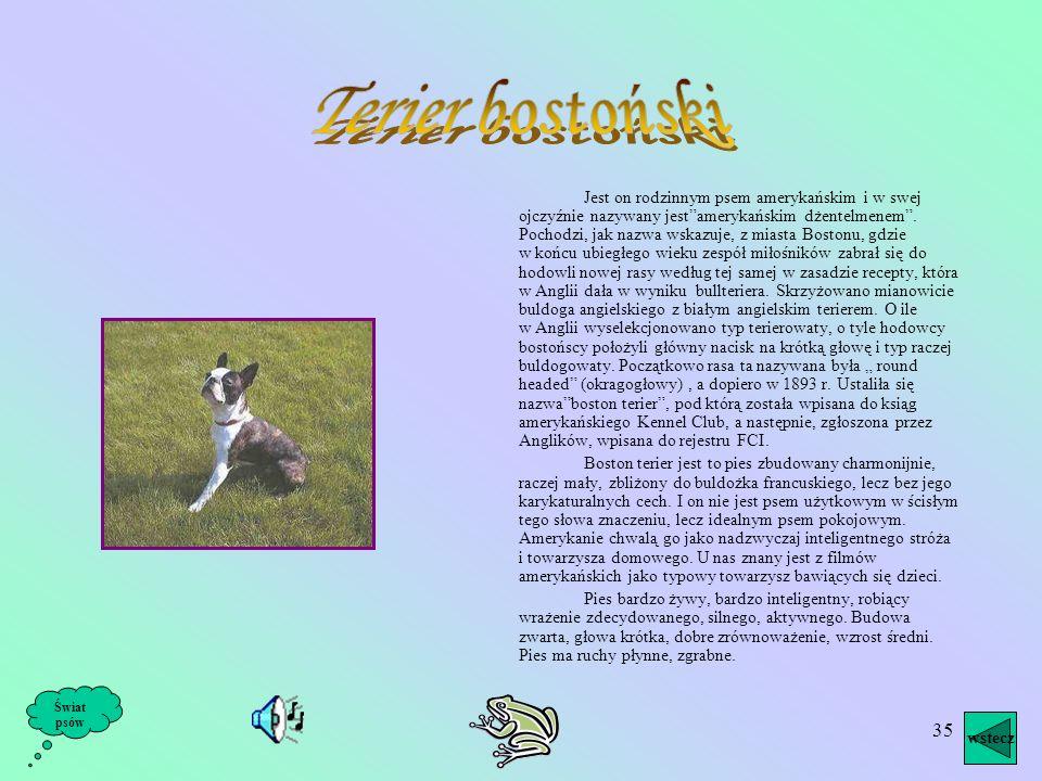 34 Jest to pies, który ma zawsze dobry humor, a do tego efektowny wygląd: ciemne, kruciutką sierść i ogon wesoło zakręcony na bok. Jest łagodny, przyj
