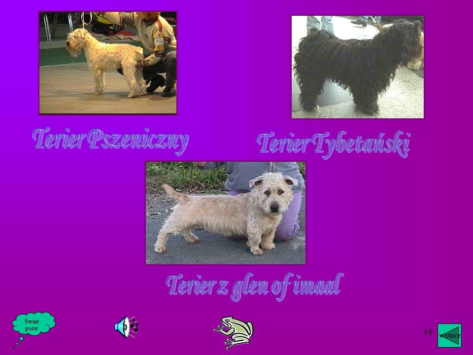 37 Amerykański Staffordshire Terier zachował swe cechy psa bojowego. Trzymany w odosobnieniu lub na łańcuchu staje się zły. Nie darzony przyjaźnią lub