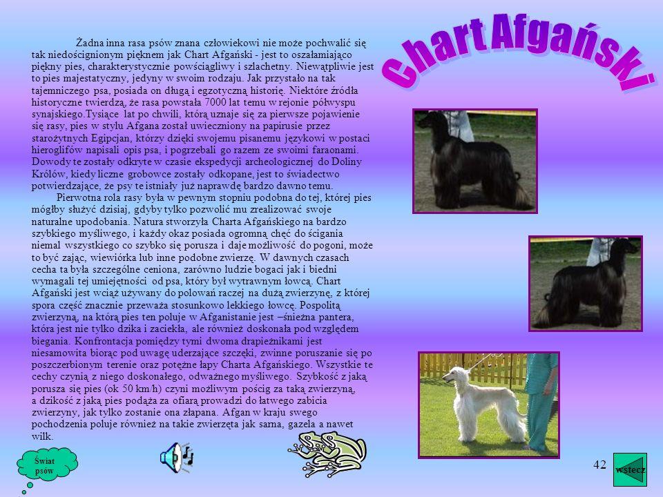41 Charcik włoski, obecnie uznany za rasę włoską, jest uosobieniem wdzięku i elegancji. Psy takie widuje się na portretach władców z ubiegłych wieków.