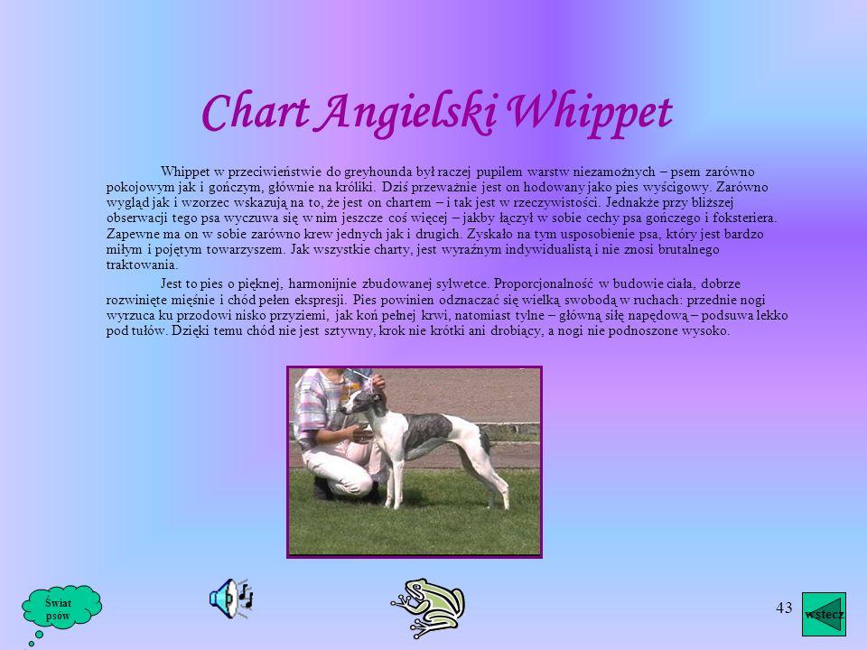 42 Żadna inna rasa psów znana człowiekowi nie może pochwalić się tak niedoścignionym pięknem jak Chart Afgański - jest to oszałamiająco piękny pies, c