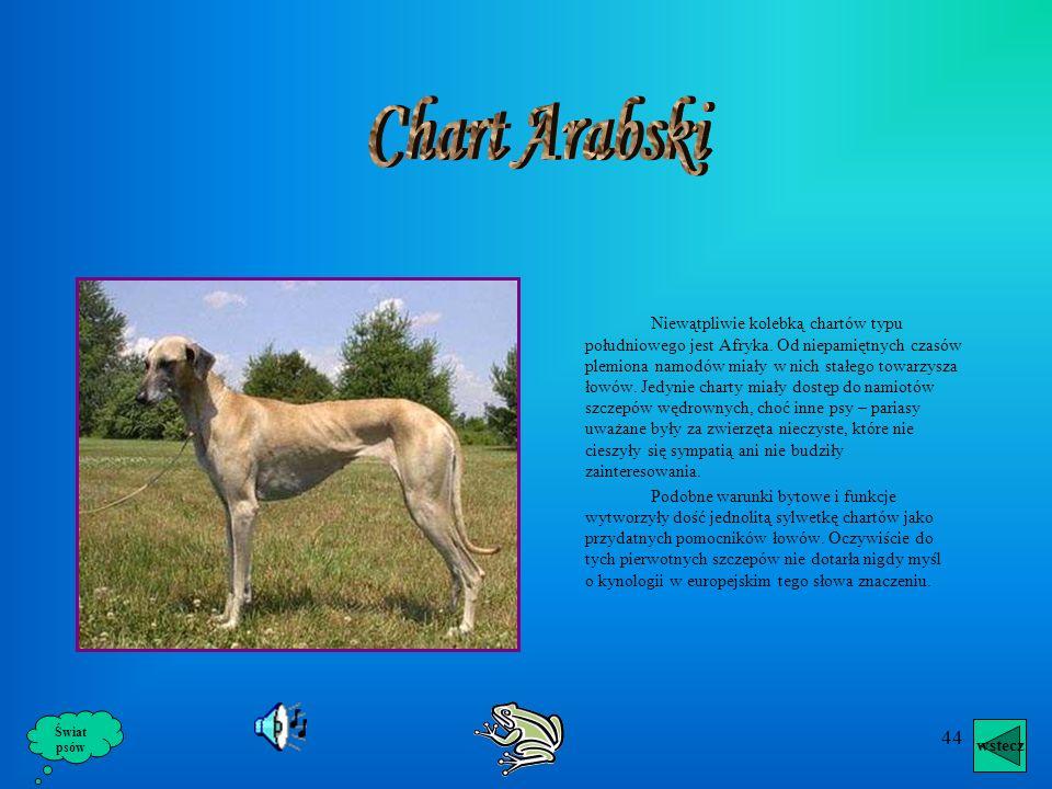 43 Chart Angielski Whippet Whippet w przeciwieństwie do greyhounda był raczej pupilem warstw niezamożnych – psem zarówno pokojowym jak i gończym, głów