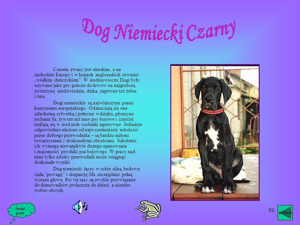 49 Dog Bordowski Pies tan zakwalifikowany jest naukowo jako molosowaty – krótkogłowy, a użytkowo jako pies obrończy i do stróżowania. Dog Bordowski je