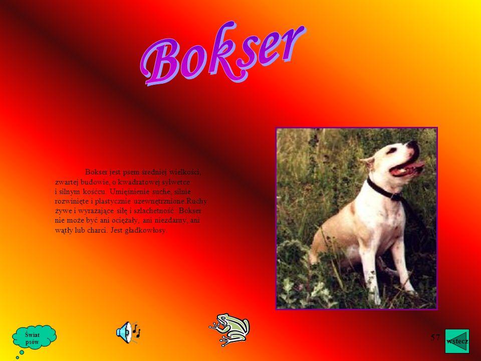56 Alaskan Malamute jest mocnym i masywnym psem z głęboką klatką piersiową i mocnym, zwartym tułowiem. Jego charakterystyczna postawa sprawia, że Alas