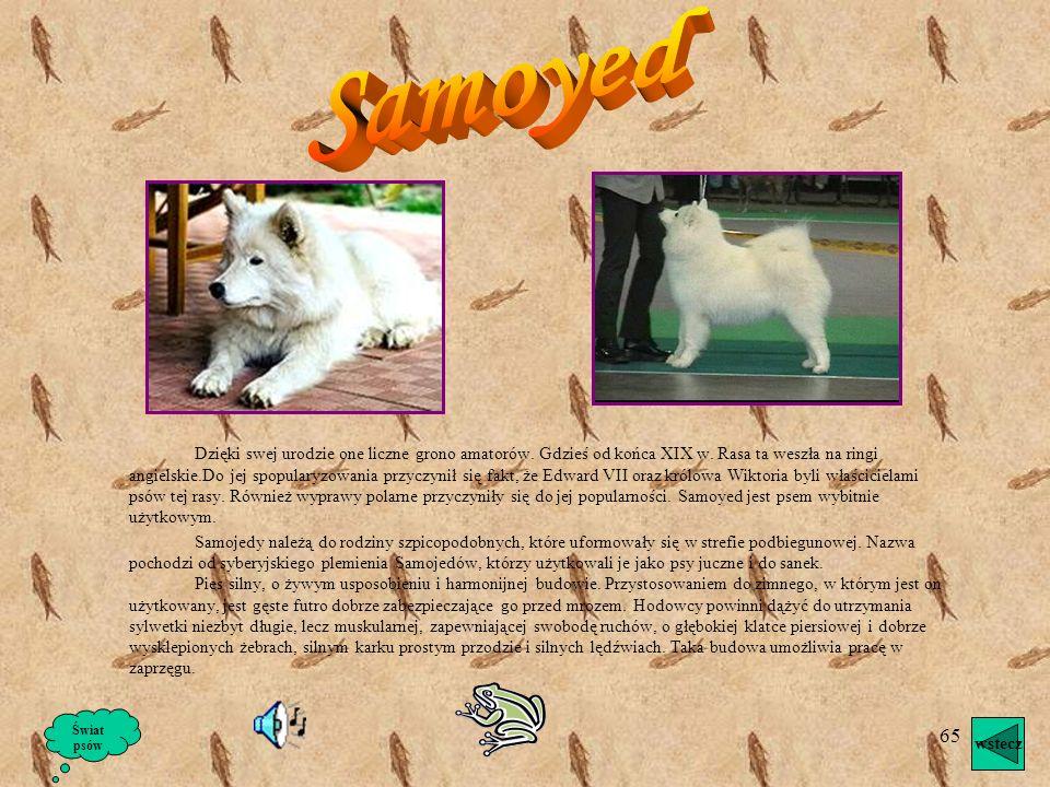 64 Na zdjęciu pokazane jest szczenię.Jest najpotężniejszym psem europejskim. Najbardziej przypomina asyryjskiego molosa i rzymskie psy bojowe. Na wyst