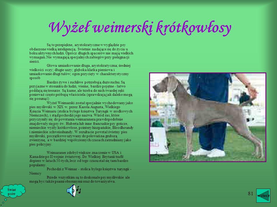 80 Wyżeł Weimerski długowłosy Obok typowego wyżła krótkowłosego, w Niemczech i Austrii występuje podobny do niego wyżeł weimerski długowłosy. Jego gło