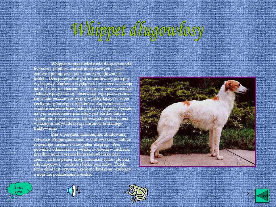 81 Wyżeł weimerski krótkowłosy Są to przepiękne, arystokratyczne w wyglądzie psy obdarzone wielką inteligencją. Swietnie nadające się do życia u boku