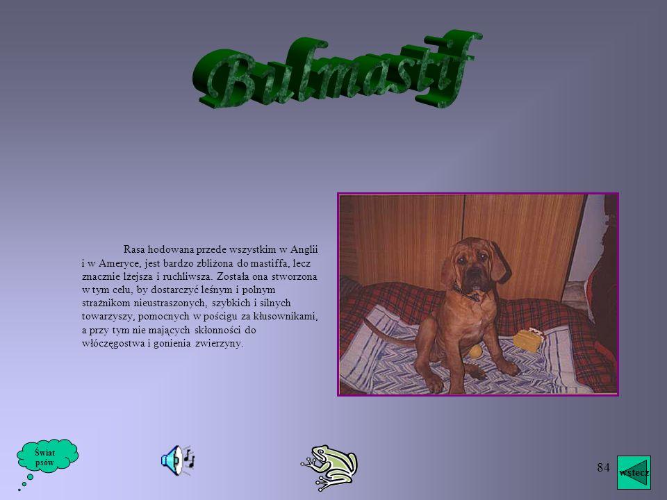83 Psy tej rasy, wyhodowane w Anglii, pochodzą z tego samego pnia co mastiff i – jak nazwa wskazuje – były używane do walki z bykami. Ich rola polegał
