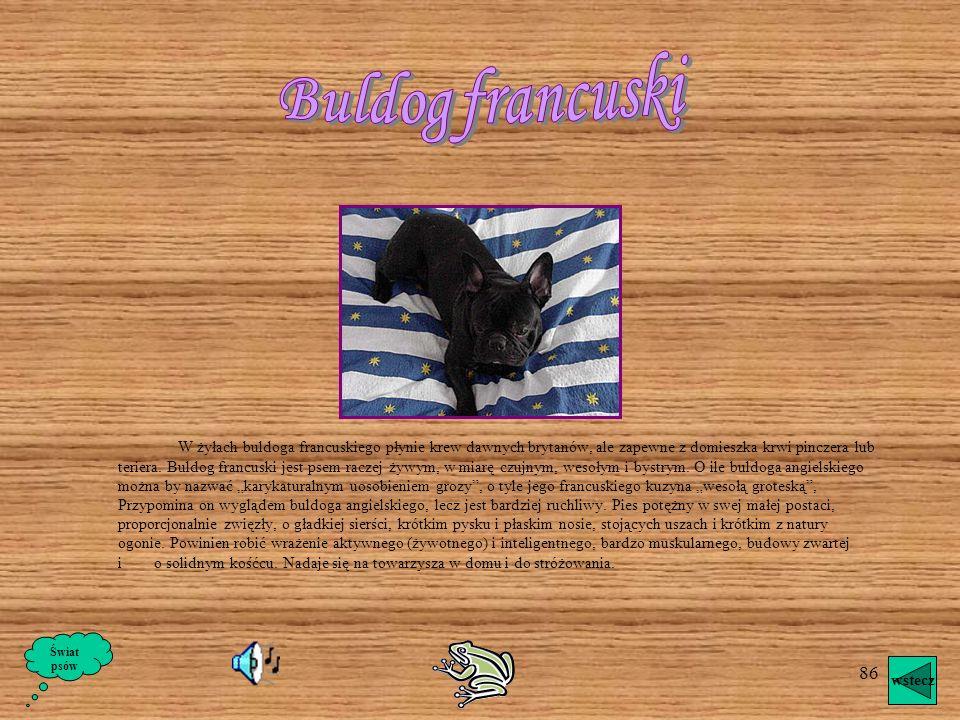 85 Buldog angielski Pomijając trudności związane z hodowlą, są one może najidealniejszymi psami na towarzyszy domowych w warunkach miejskich; mało pot