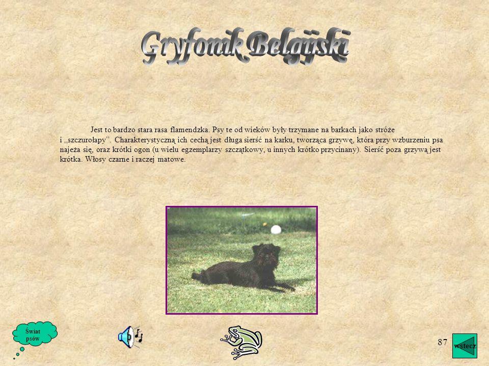 86 W żyłach buldoga francuskiego płynie krew dawnych brytanów, ale zapewne z domieszka krwi pinczera lub teriera. Buldog francuski jest psem raczej ży