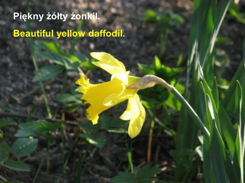 Piękny żółty żonkil. Beautiful yellow daffodil.