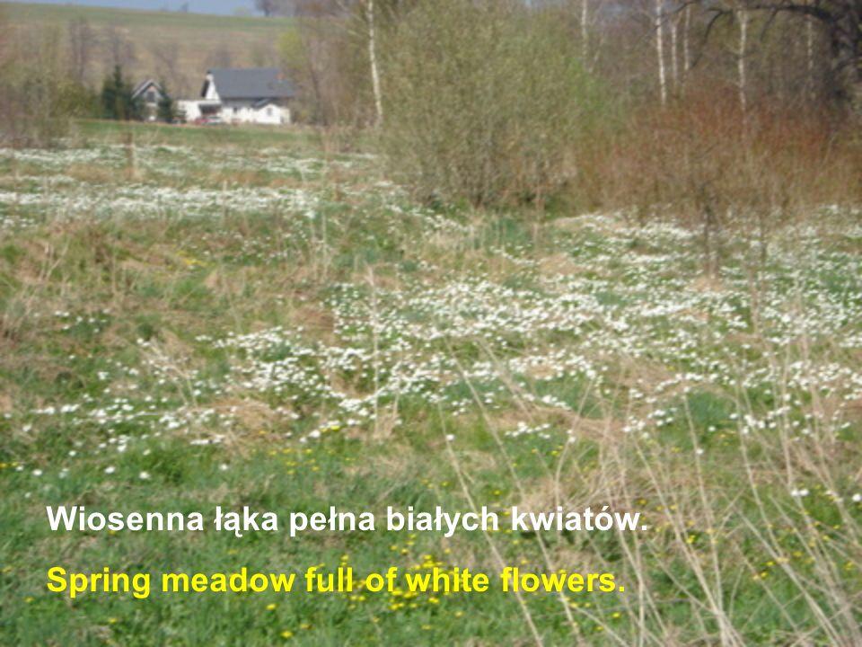 Wiosenna łąka pełna białych kwiatów. Spring meadow full of white flowers.