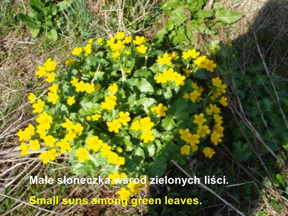 Małe słoneczka wśród zielonych liści. Small suns among green leaves.