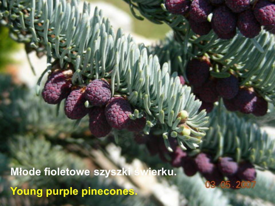 Młode fioletowe szyszki świerku. Young purple pinecones.