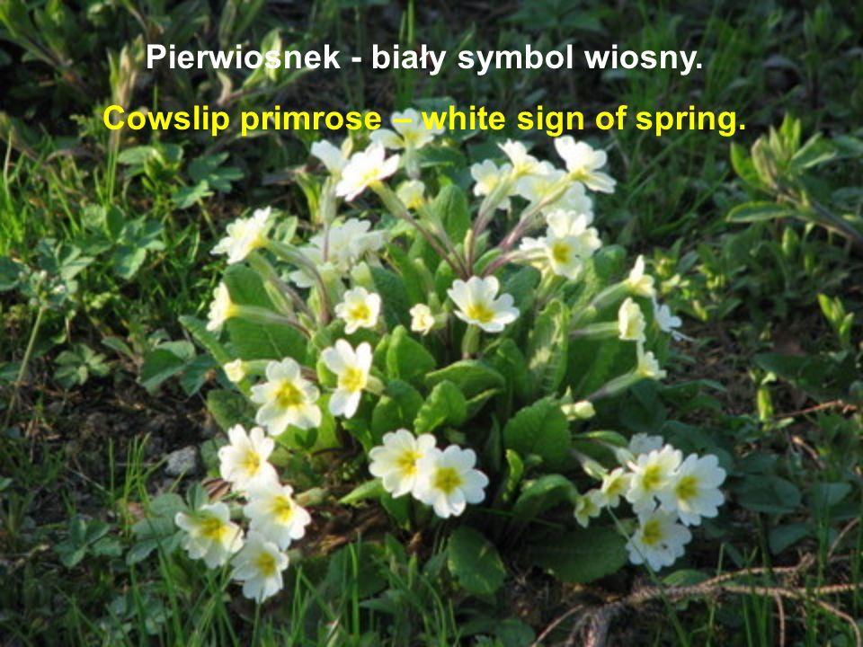 Pierwiosnek - biały symbol wiosny. Cowslip primrose – white sign of spring.