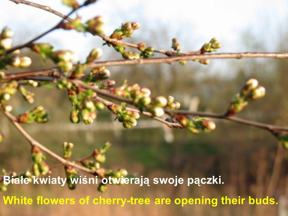 Białe kwiaty wiśni otwierają swoje pączki. White flowers of cherry-tree are opening their buds.
