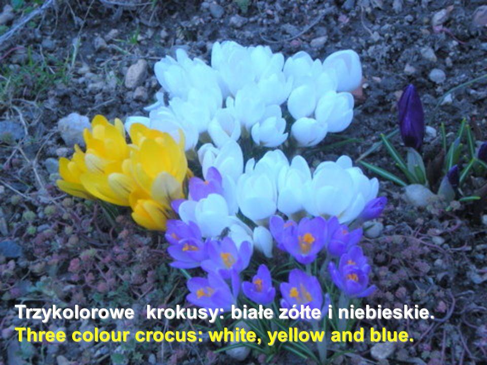 Trzykolorowe krokusy: białe zółte i niebieskie. Three colour crocus: white, yellow and blue.