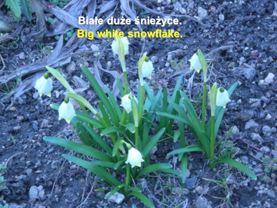 Białe duże śnieżyce. Big white snowflake.