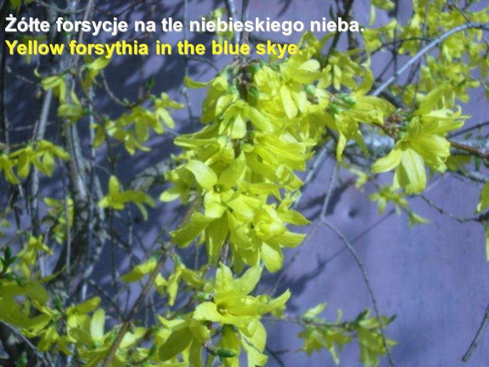 Żółte forsycje na tle niebieskiego nieba. Yellow forsythia in the blue skye.