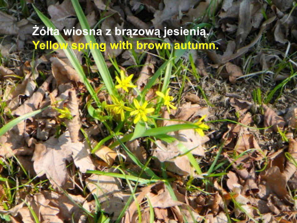 Żółta wiosna z brązową jesienią. Yellow spring with brown autumn.