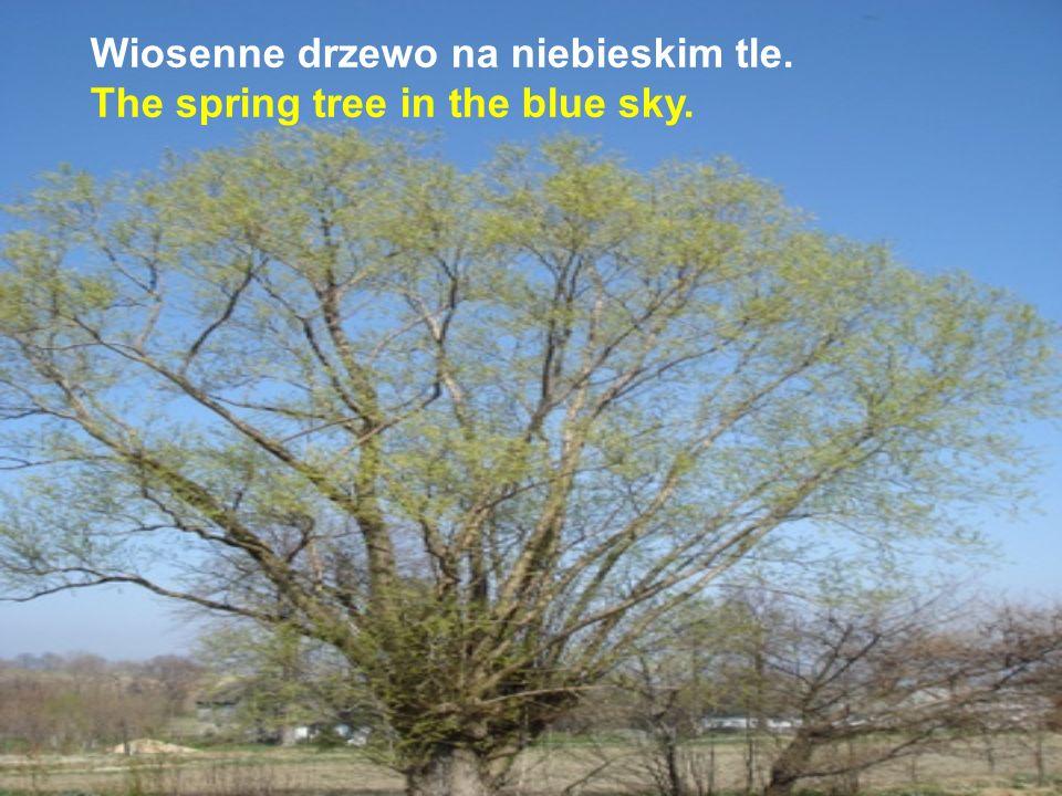 Seledynowe gwiazdki na klonie. Willow-green stars on the maple.