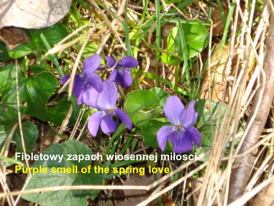 Fioletowy zapach wiosennej miłosci. Purple smell of the spring love.