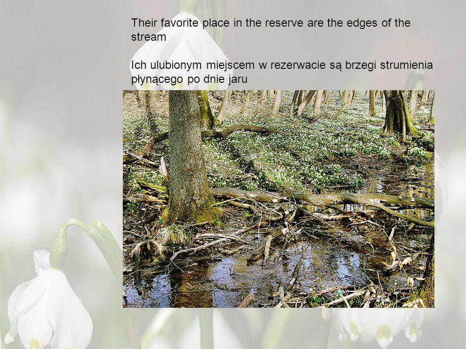 Their favorite place in the reserve are the edges of the stream Ich ulubionym miejscem w rezerwacie są brzegi strumienia płynącego po dnie jaru