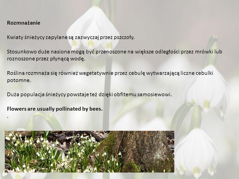 Rozmnażanie Kwiaty śnieżycy zapylane są zazwyczaj przez pszczoły.