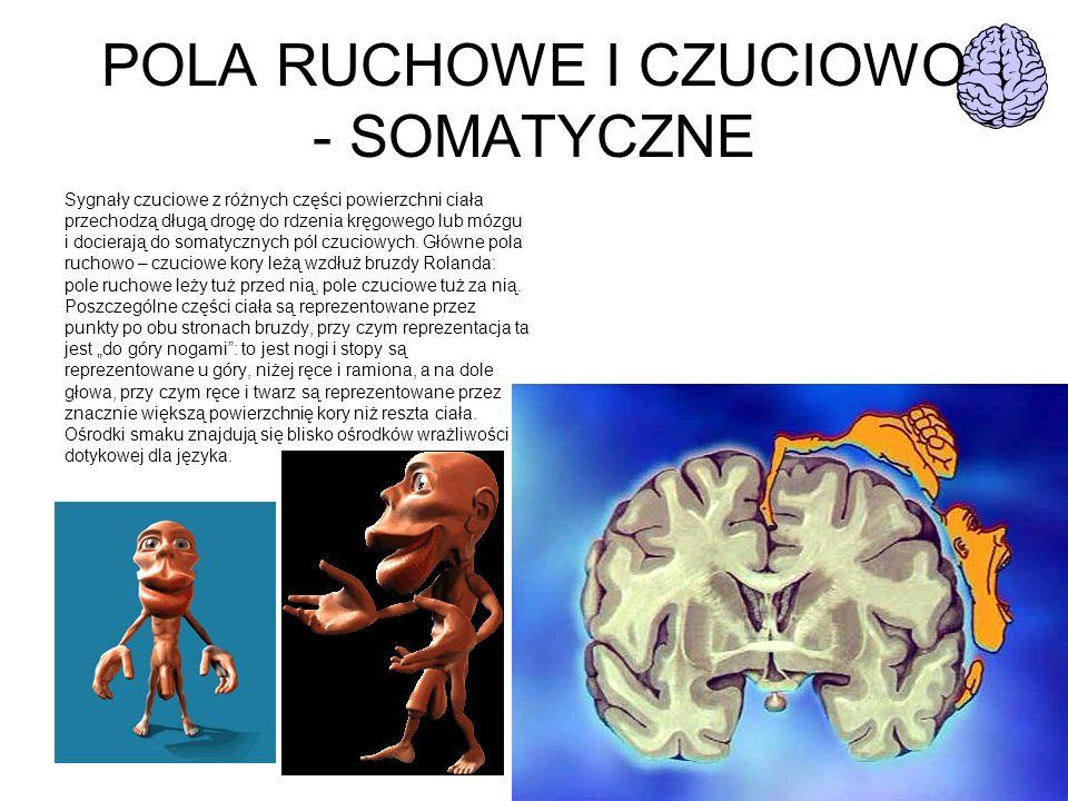 POLA RUCHOWE I CZUCIOWO - SOMATYCZNE Sygnały czuciowe z różnych części powierzchni ciała przechodzą długą drogę do rdzenia kręgowego lub mózgu i docie